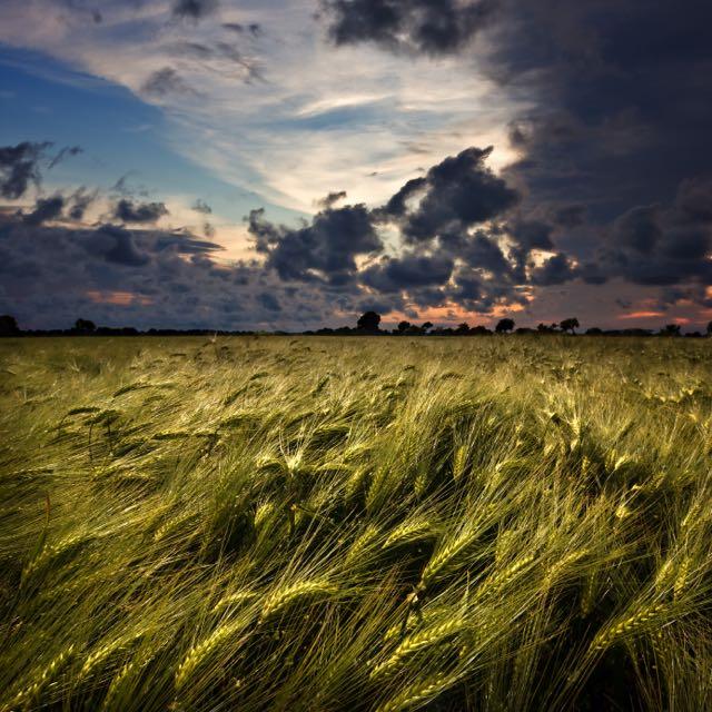 graanveld klaar voor de oogst van het tarwe en de scheiding van het onkruid