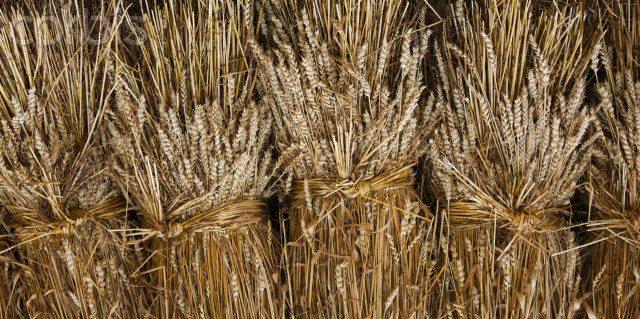 Verzameling van de tarwe en het onkruid
